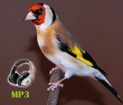دانلود صدای اردک ماده صدای سهره